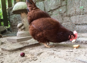 Mrs. Lucy Grubbs enjoying her treat, ignoring me and her waistline.