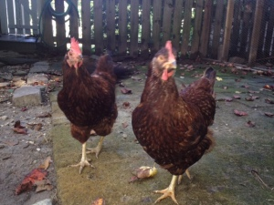 Two of my naughtier chickens, Missy & Pinky.